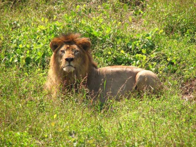india-gujarat-asiatic-lion-2
