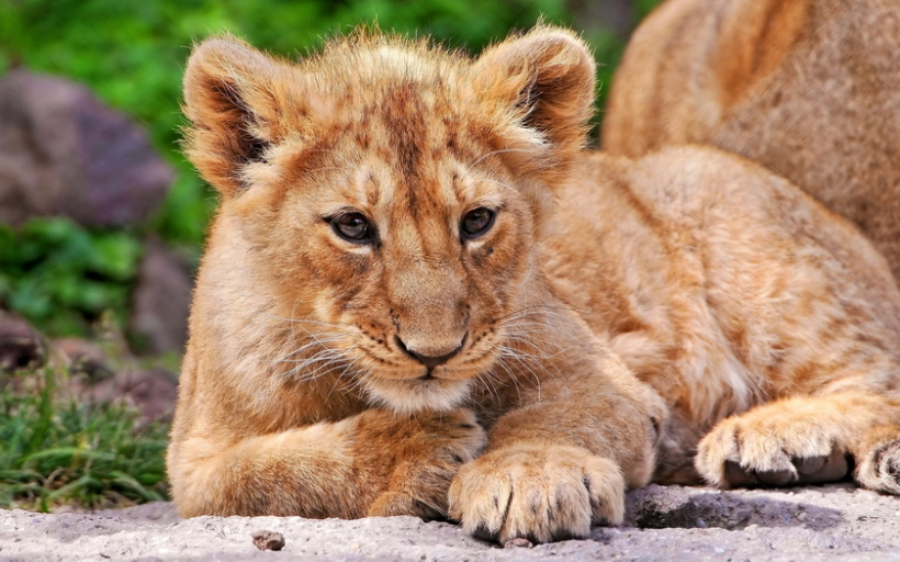 india-gujarat-asiatic-lion-3