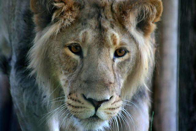 india-gujarat-asiatic-lion