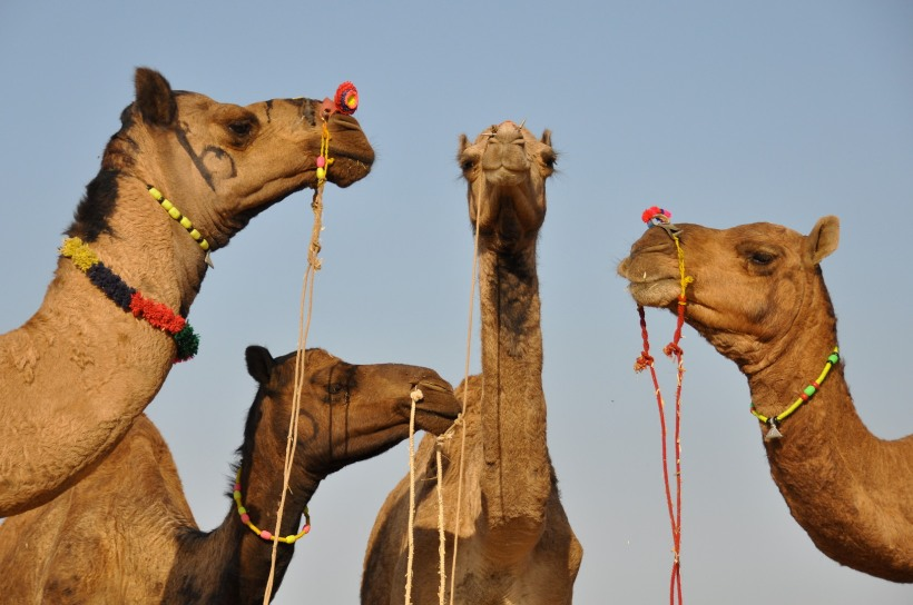india-rajasthan-camel-festival-2