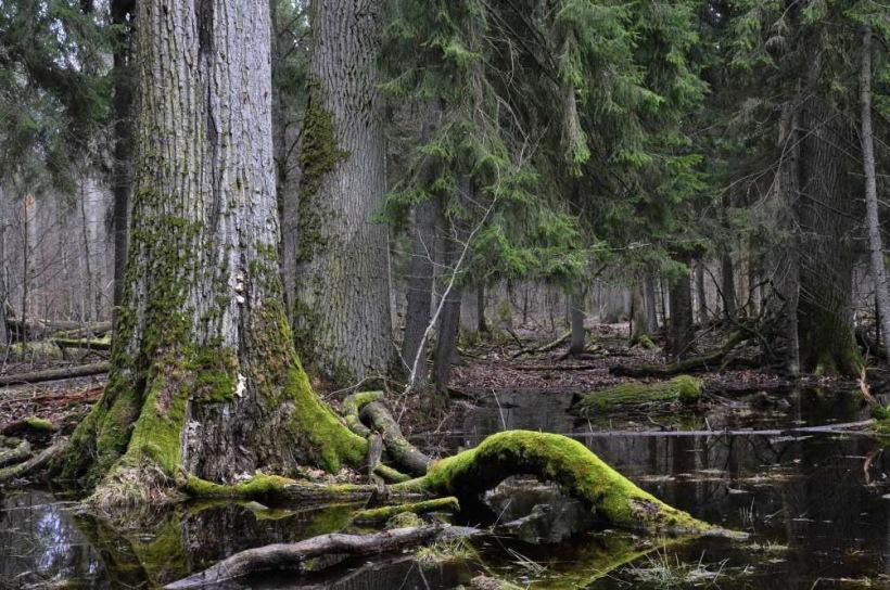 foresta-bialowieza-polonia