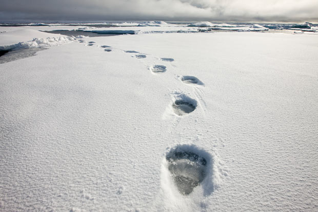 polar-bear-prints